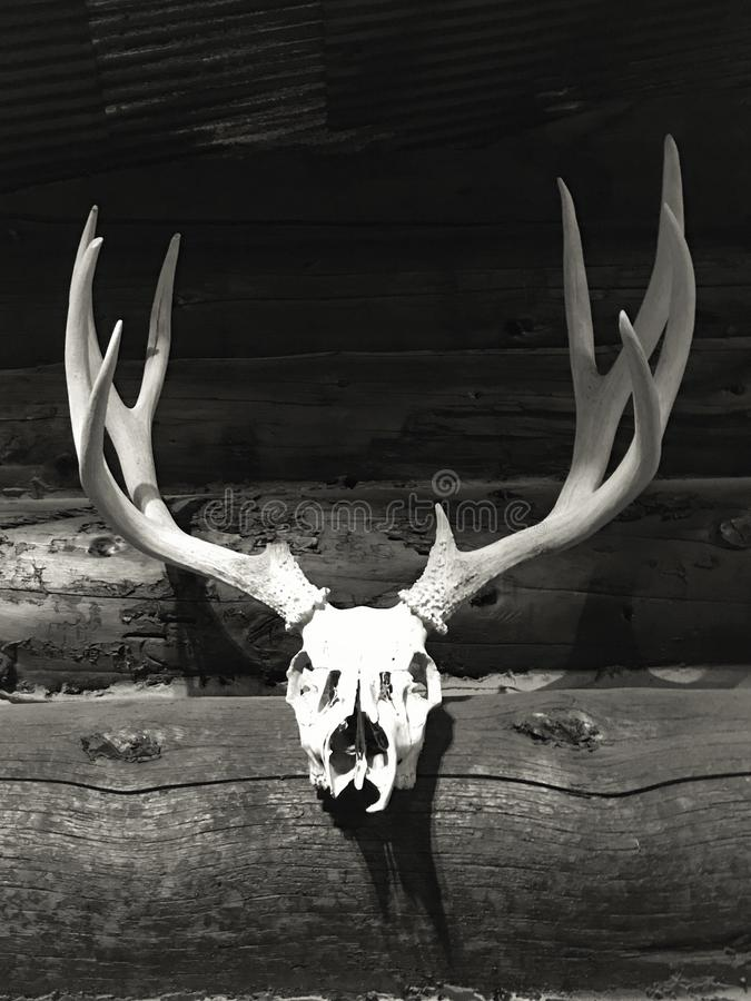 Whitetail skull and antlers royalty free stock photo