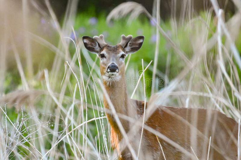 Whitetailbok in fluweel in moeras royalty-vrije stock afbeeldingen