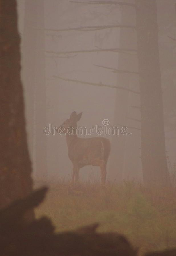 Whitetaildamhinde in de mist, Montana, Sapphire Mountains royalty-vrije stock fotografie