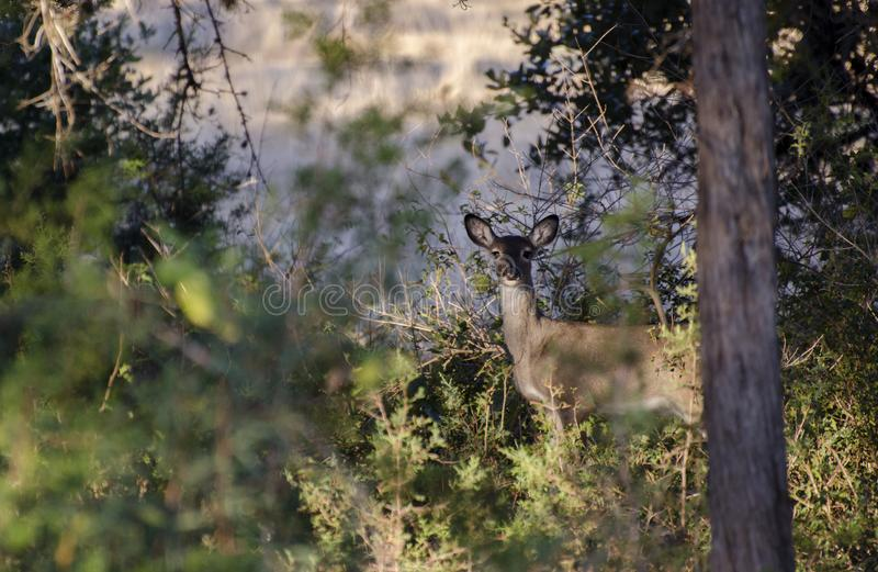 Whitetailed Deer fawn, Driftwood Texas royalty free stock photography