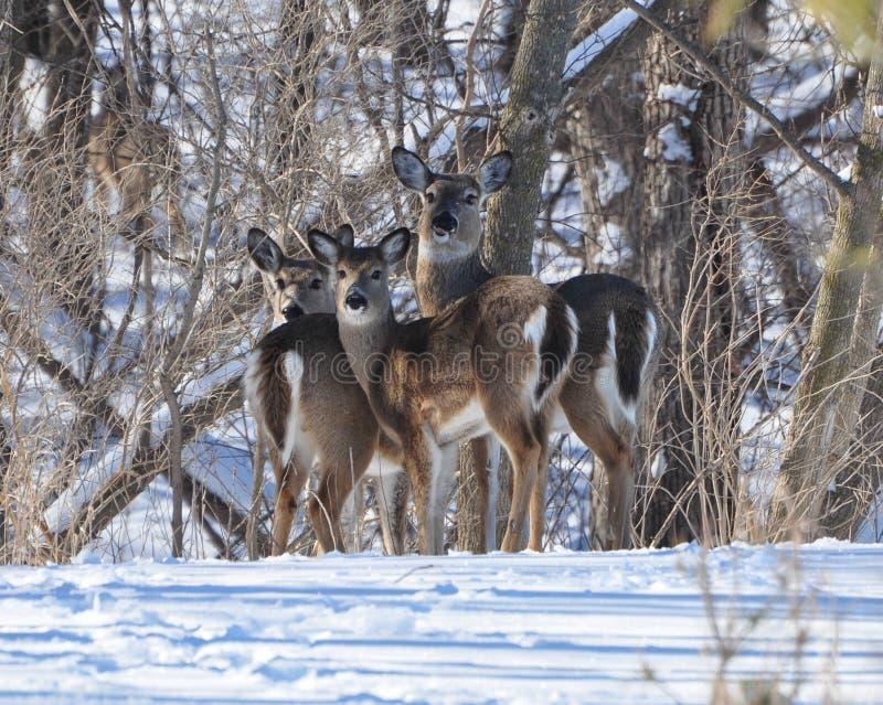 whitetailed vinter för hjortar familj arkivbilder