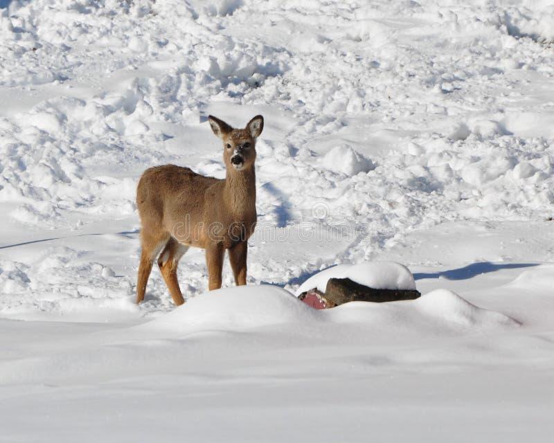 Download Whitetailed winter shadows stock photo. Image of seasonal - 13295810