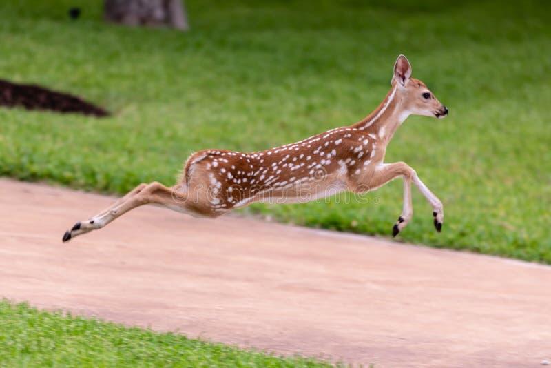Whitetailen lismar hjortar som hoppar till och med luften royaltyfri foto