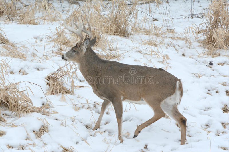 Whitetailherten Buck In Snowy Marsh royalty-vrije stock foto's