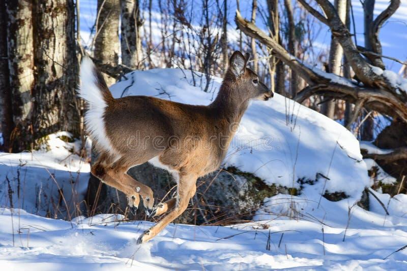 Whitetailherten die door de sneeuw bounding stock fotografie