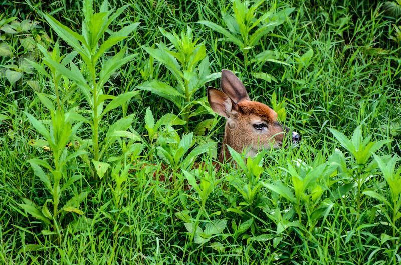 Whitetailherten Fawn Hiding in Lang Gras (vignet) stock afbeelding