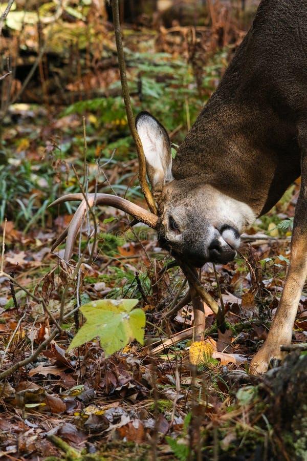 Whitetailhjortar Buck Working en Rub royaltyfria foton