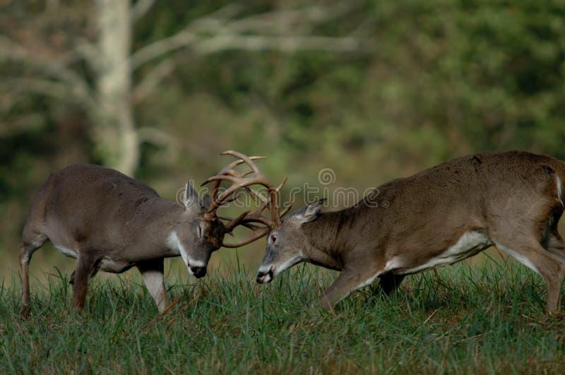 Whitetailrotwildkämpfen stockbilder