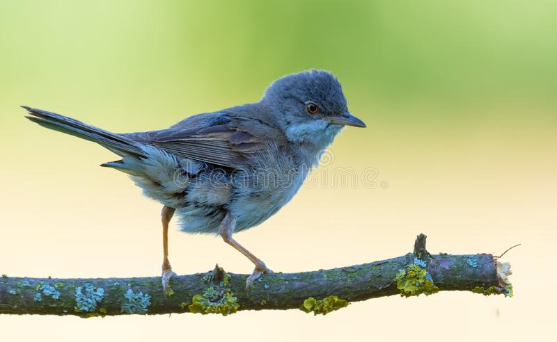 Whitethroat común masculino adulto que presenta en la ramita del liquen en la crianza de plumas de la estación fotos de archivo