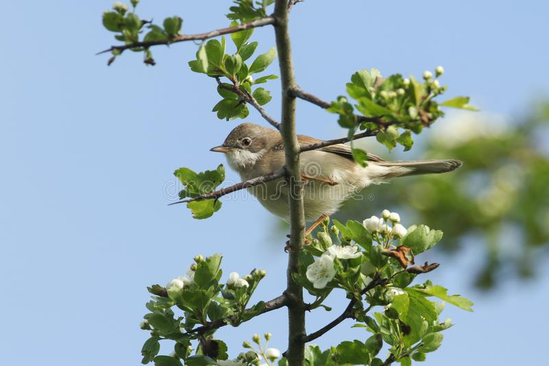 A stunning Whitethroat Sylvia communis perching on a flowering Hawthorn tree Crataegus monogyna in spring. stock images