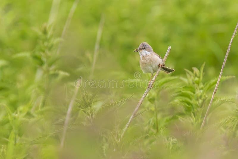 Whitethroatvogel, communis Sylvia die, in een weide voederen stock afbeelding