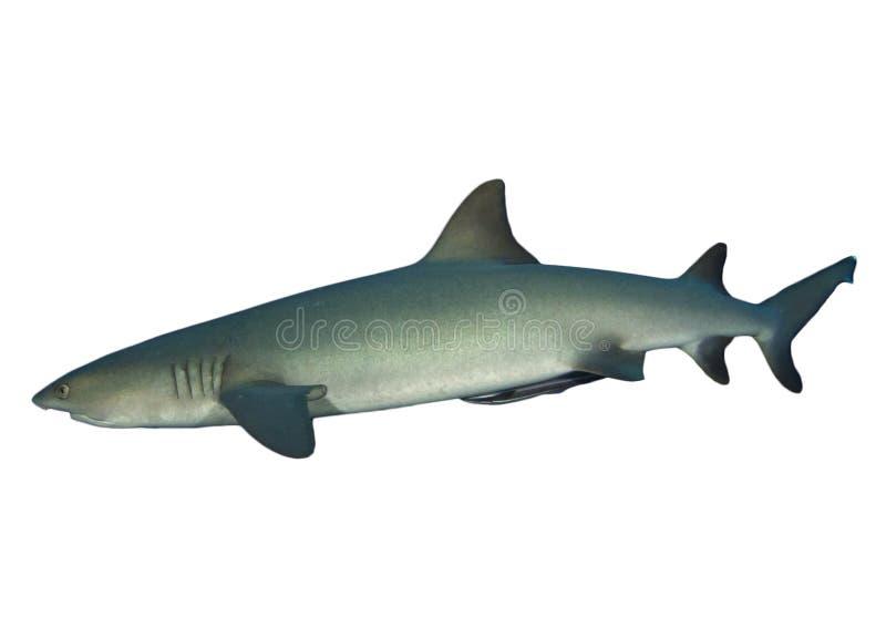 Whitetip礁石鲨鱼 库存照片