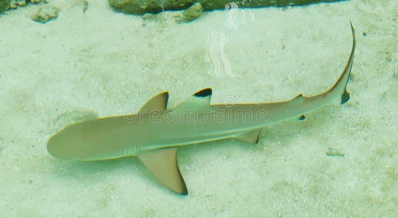 Whitetip礁石鲨鱼 r Ellaidhoo?? 图库摄影