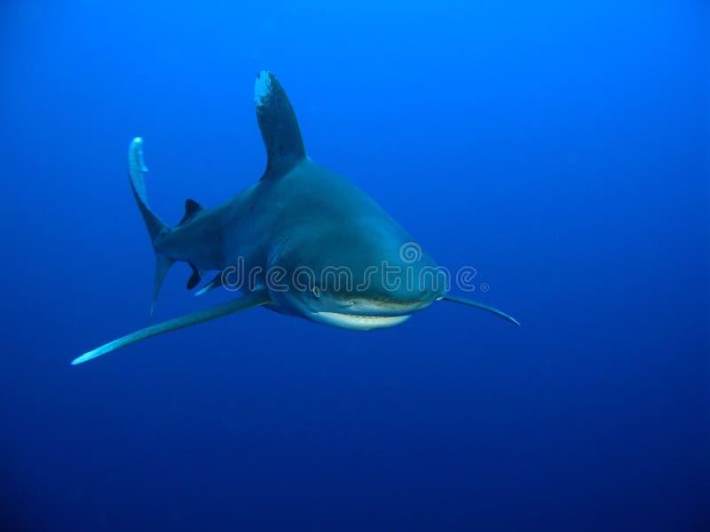 whitetip för haj för carcharhinuslongimanus oceanic arkivbilder