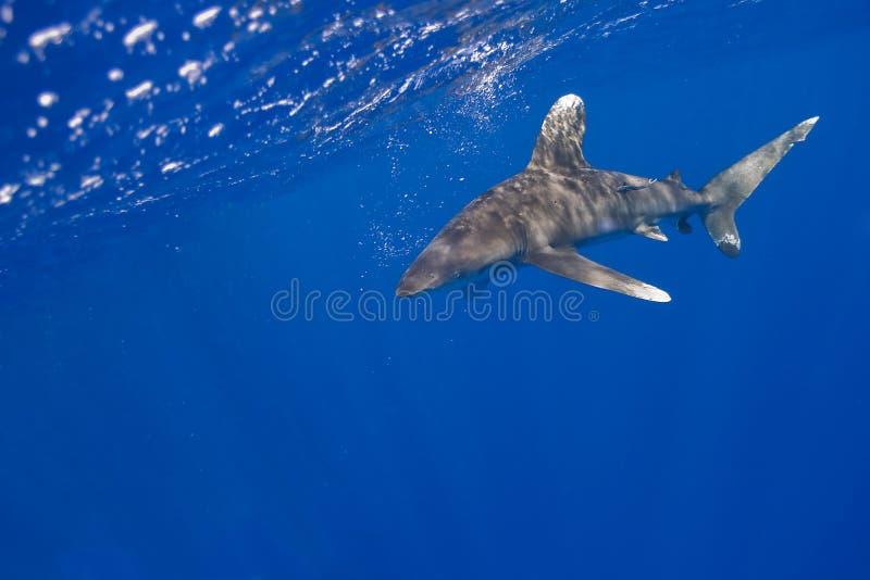 Whitetip ozeanisch stockfotografie