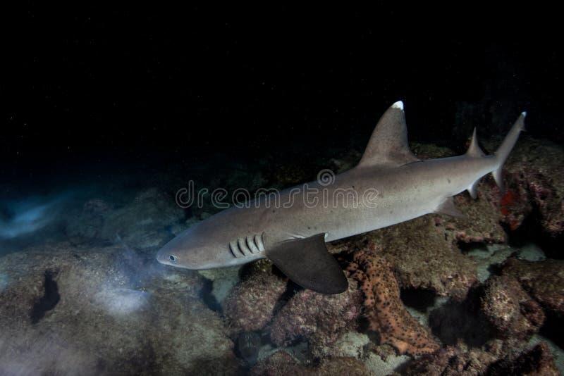 Whitetip Ree Shark Hunting la nuit photo libre de droits