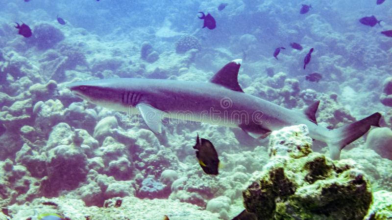 Whitetip reef shark in Maldives. stock images
