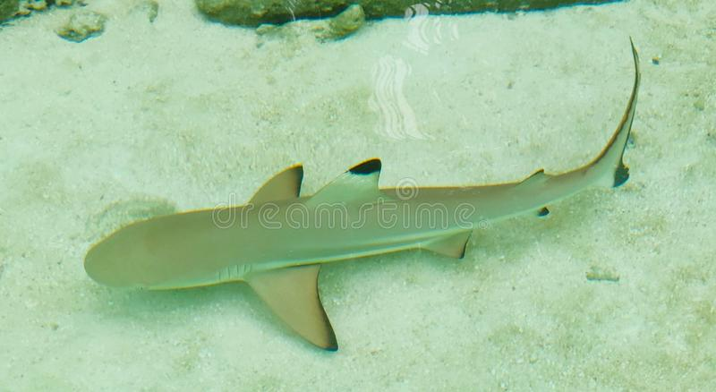 Whitetip reef shark. Maldives. Ellaidhoo Island stock photography