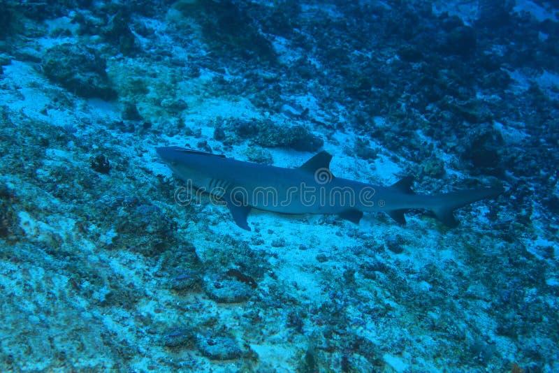 Whitetip reef shark stock image