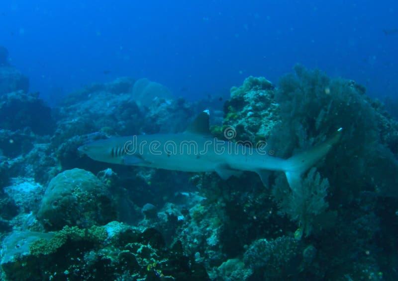 Vitetip reef shark arkivfoton
