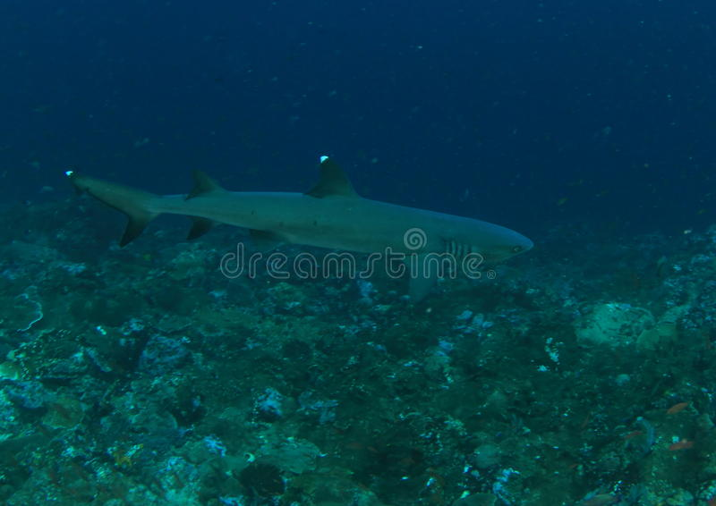 Download Whitetip shark stock image. Image of water, white, park - 38076147