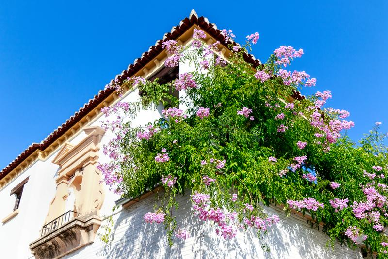 A whitewashed house with abundance of potted cascading pink flowers on the balcony Zimbabwe Creeper - Podranea ricasoliana in Gr. A whitewashed house with stock image