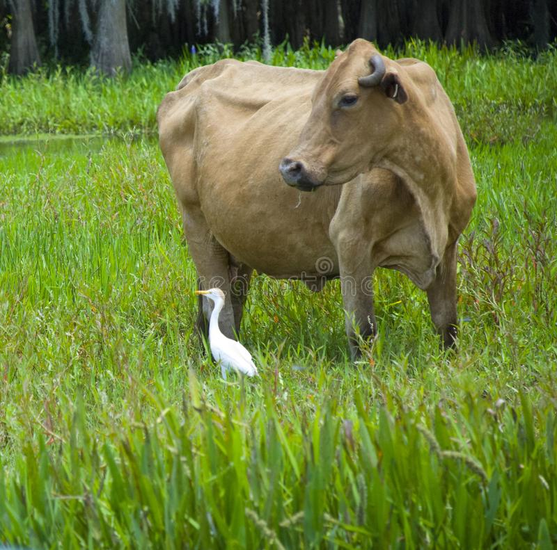 Whithe heron and cow stock photo