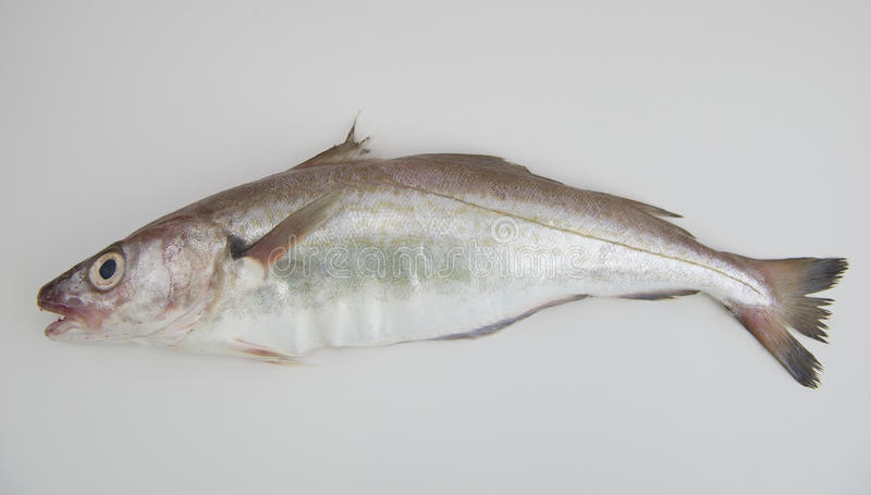 Whiting fish stock image image of delicious wildlife for Poisson a acheter