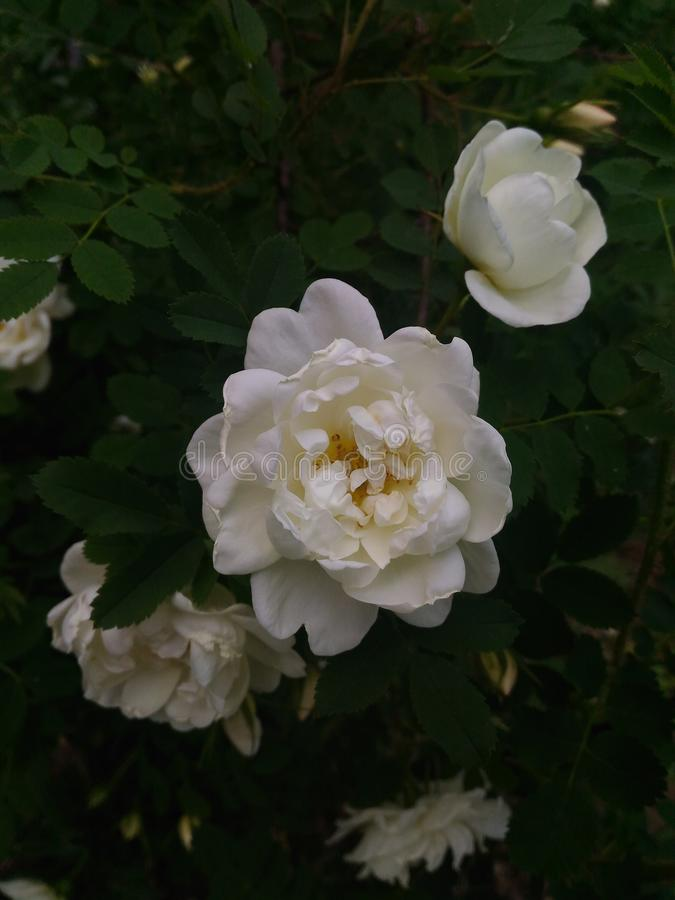 Whiye rose. White is the color of purity, chastity and innocence. White flowers are generally associated with new beginnings and make an ideal accompaniment to a stock photo