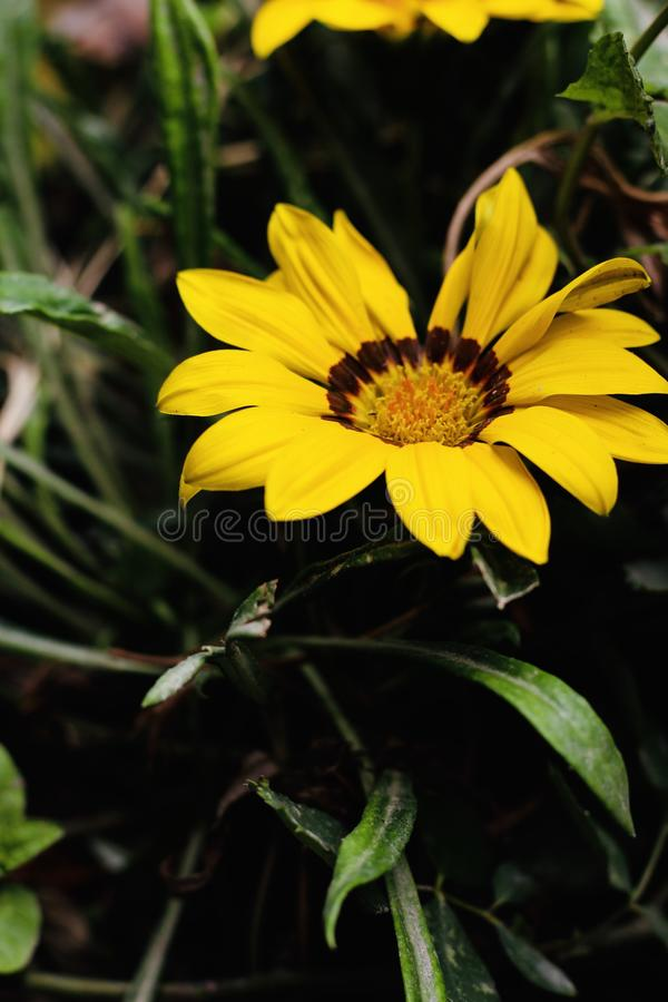 A beautiful sunflower in the morning royalty free stock photos