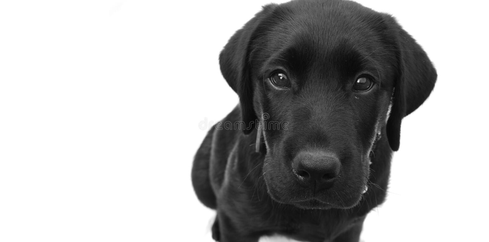 Who Me. Black Labrador with guilty expression and copyspace for text stock images