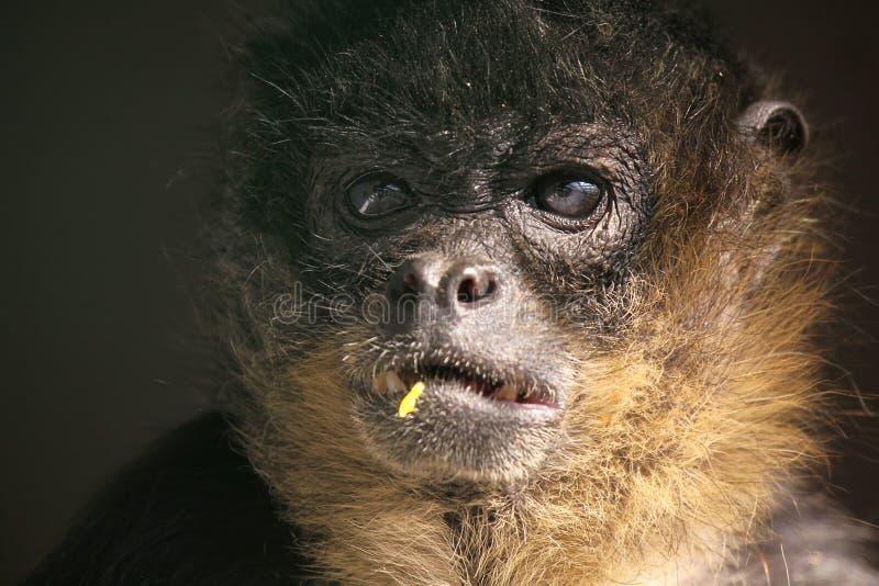 Download Who Me? stock image. Image of wildlife, monkey, primate - 9602443