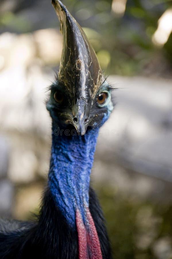 Who me? I am bird. Australian, bird, blue neck, red fron, helmet bird, brown eyes, CASSOWARY, Casuarius casuarius, large flightless, rare stock photos