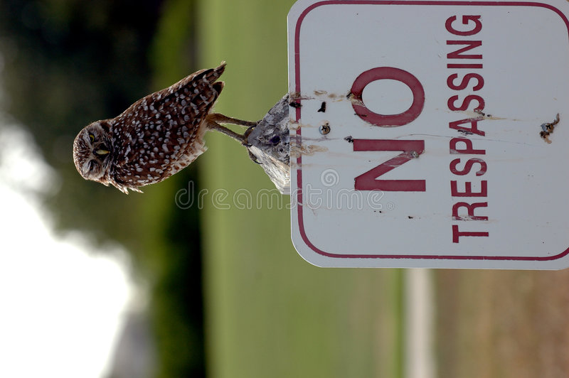 Who's trespassing?. A burrowing owl stands on a no trespassing sign stock photo