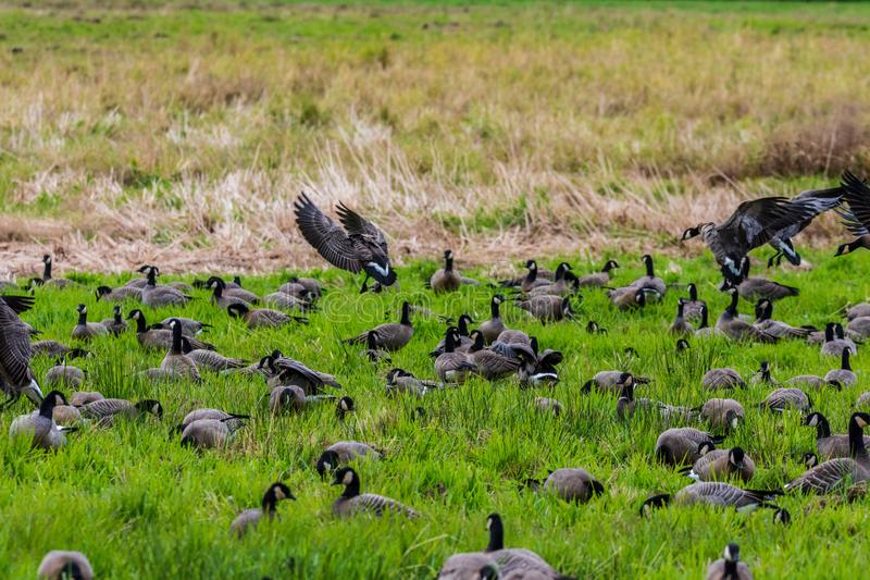 A whole bunch of Canadian geese flocking together in a bird reserve in nisqually Washington. A beautiful view of birds relaxing in the sunshine stock image