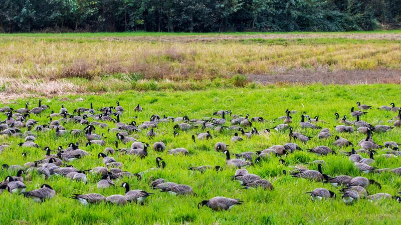 A whole bunch of Canadian geese flocking together in a bird reserve in nisqually Washington. A beautiful view of birds relaxing in the sunshine stock photography
