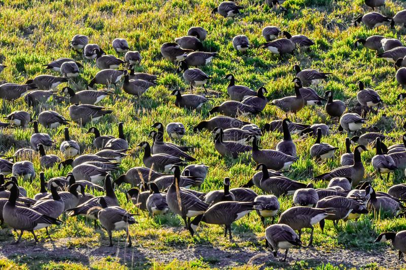 A huge flock of geese flocking together in a bird reserve in nisqually Washington stock image
