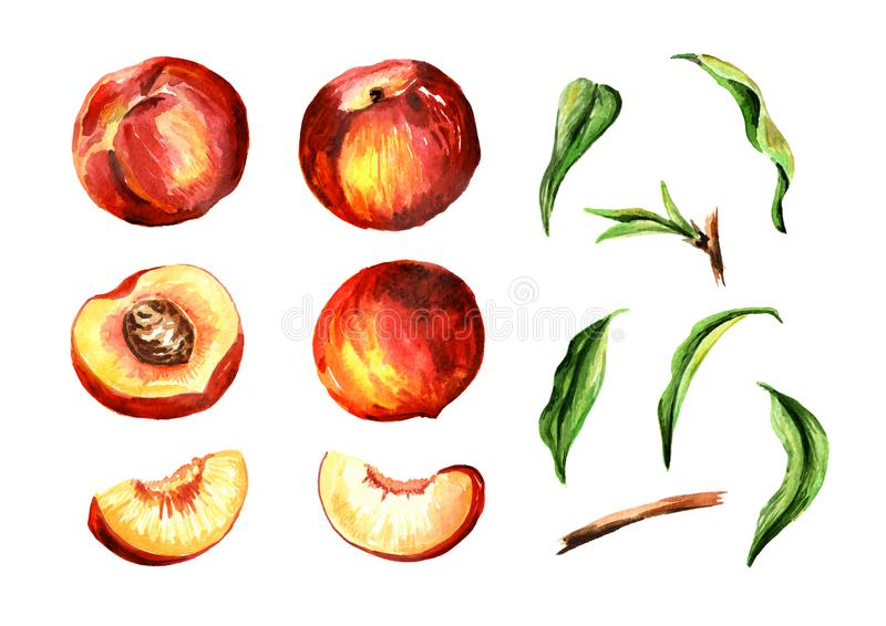 Whole and cut peach fruits and leaves set. Watercolor hand drawn illustration, isolated on white background. royalty free illustration