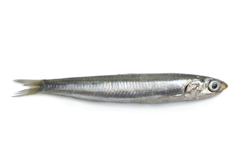 Whole fresh raw anchovy. Whole single fresh raw European anchovy isolated on white background