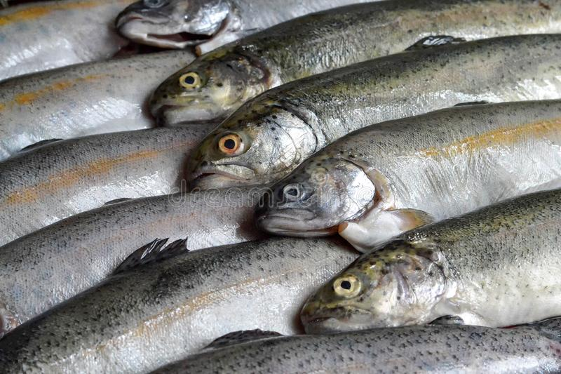 Whole raw trout fish royalty free stock photo