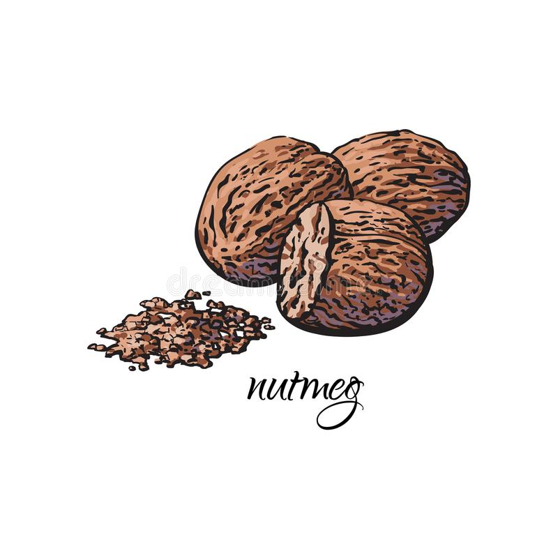 Whole and ground fragrant nutmeg with caption. Sketch style vector illustration isolated on white background. Hand drawn nutmeg, whole and powder, vector stock illustration