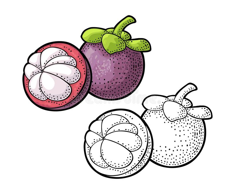 Whole and half mangosteen. Vector vintage engraving stock illustration