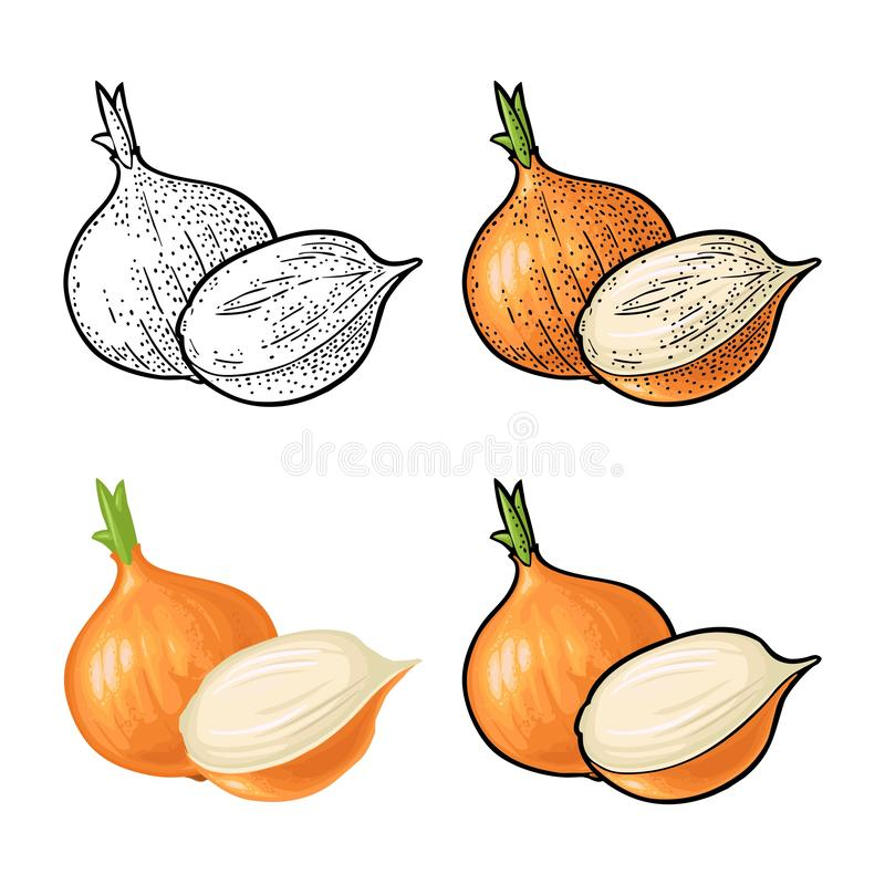 Whole and half onion. Vector vintage engraving and flat illustration vector illustration