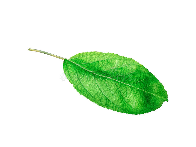 Whole leaf of apple with stalk isolated on a white background, close-up. A fresh single apple leaf cut out with the. Texture and clipping path royalty free stock photography