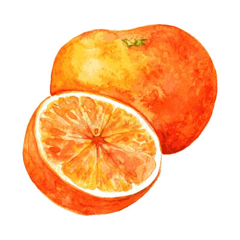 Whole orange and half vector illustration