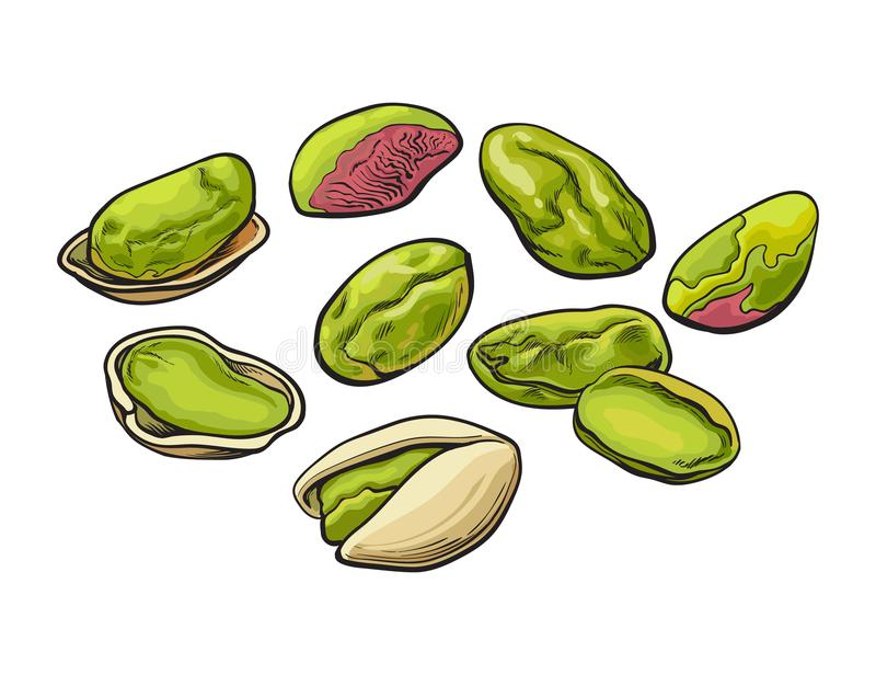 Whole and peeled pistachio nut isolated on a white background. Whole and peeled pistachio nuts, vector illustration isolated on white background. Drawing of stock illustration