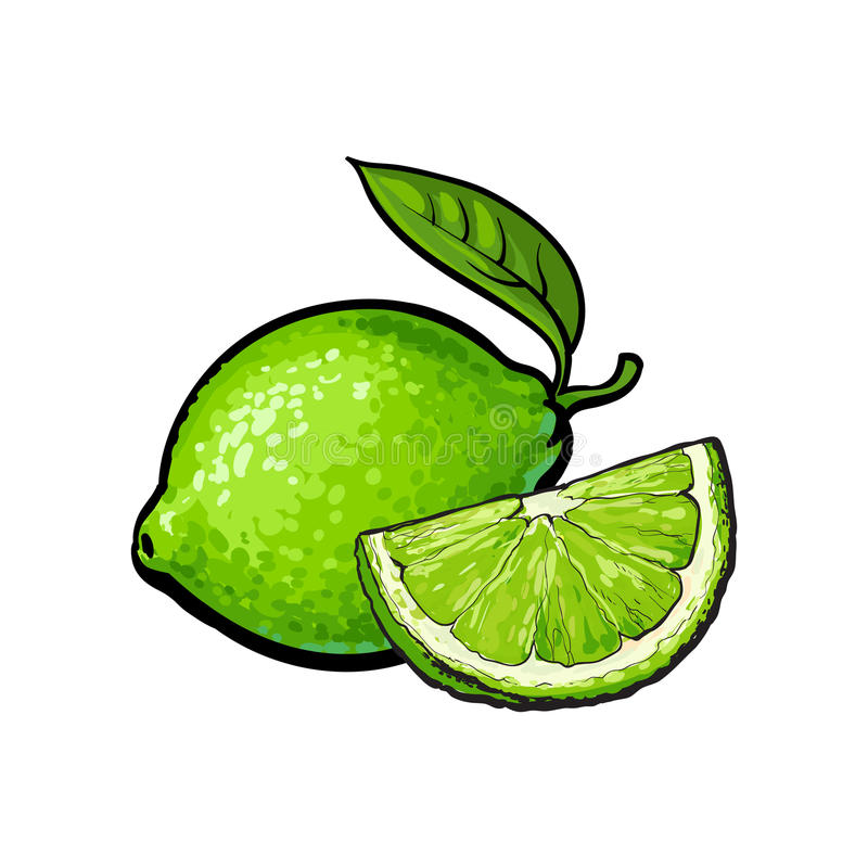 Whole and quarter of unpeeled green lime, sketch vector illustration. Whole and slice of unpeeled ripe green lime, sketch style vector illustration isolated on stock illustration
