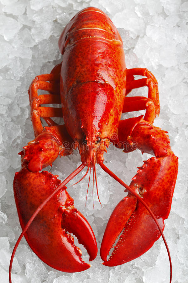 Whole red lobster royalty free stock images