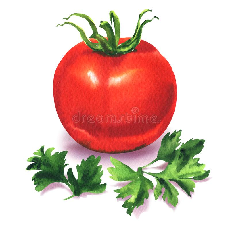 Whole ripe red tomato with green parsley, fresh vegetable and spice herb, ingredients for salad, isolated, hand drawn royalty free illustration