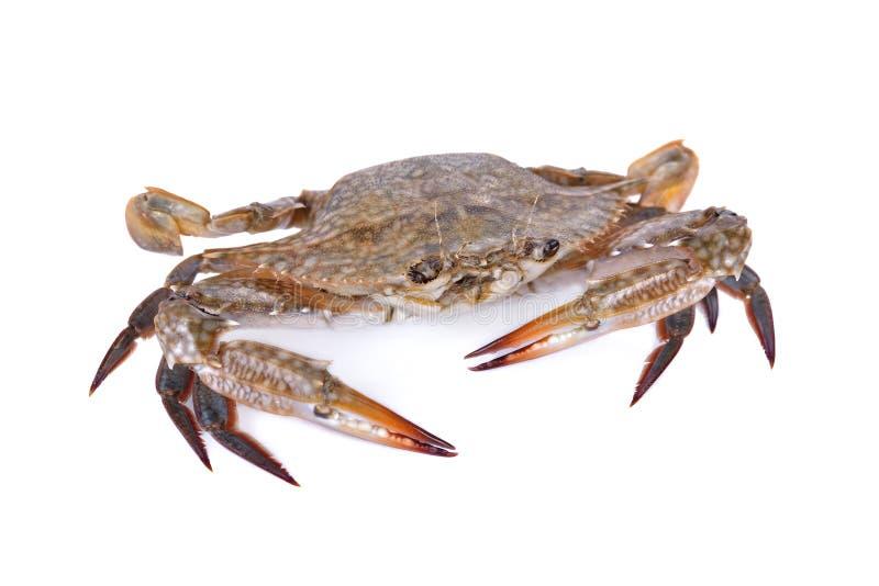 Whole round fresh blue crab on white background. Whole round fresh blue crab on a white background stock photos